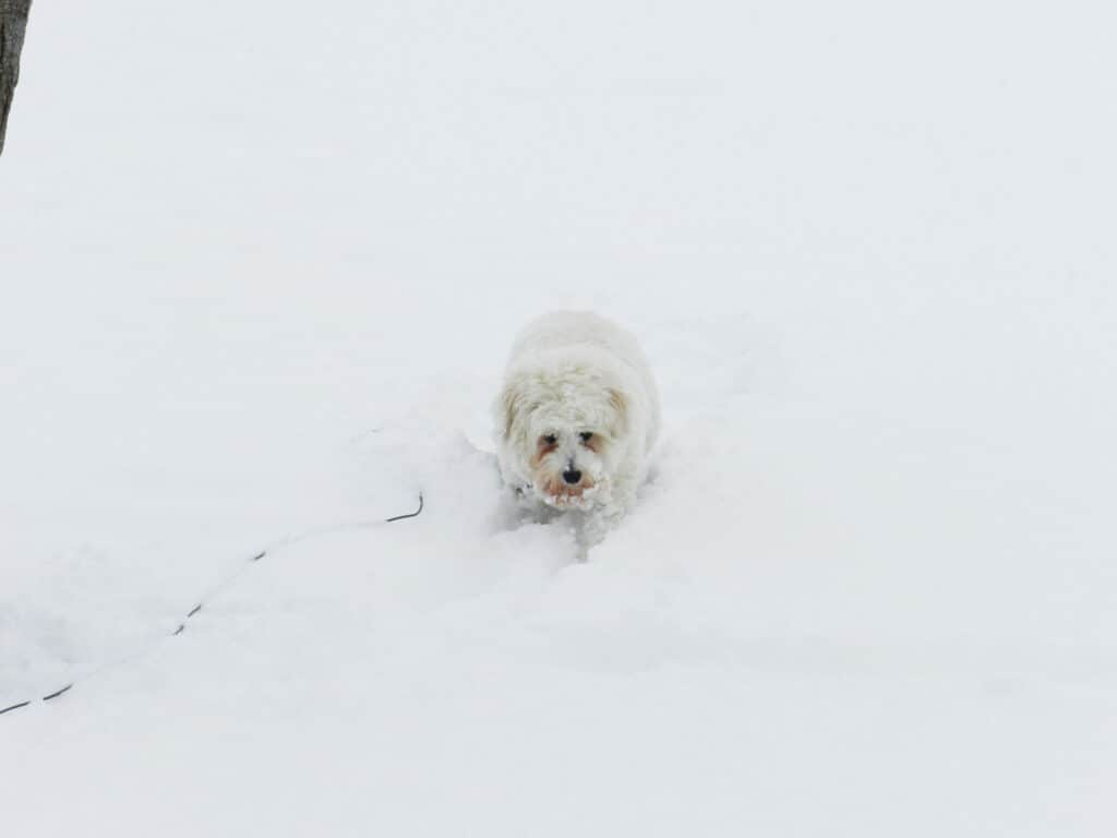 A fluffy white dog trying to walk through deep snow