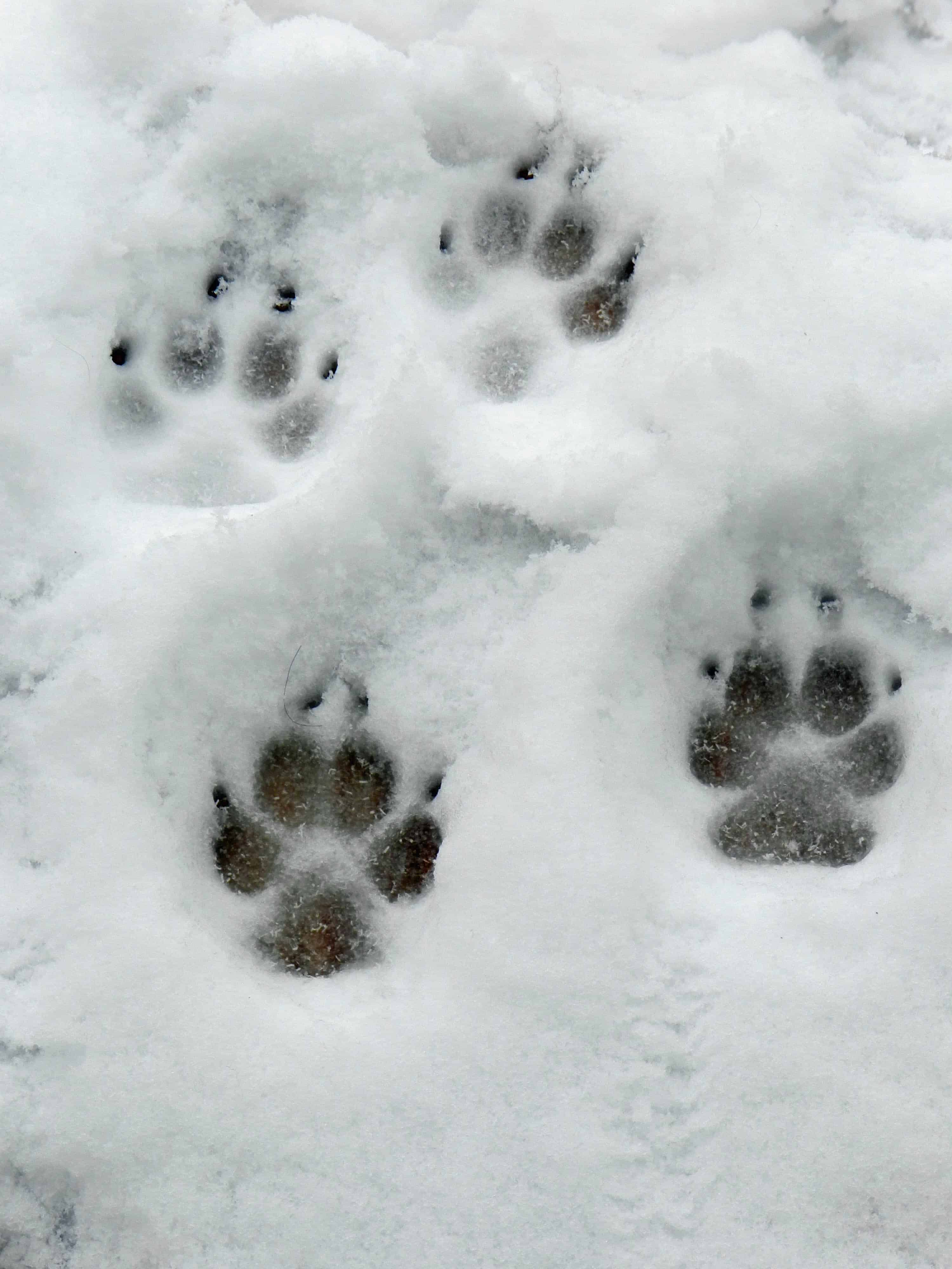 Four paw prints in the snow.