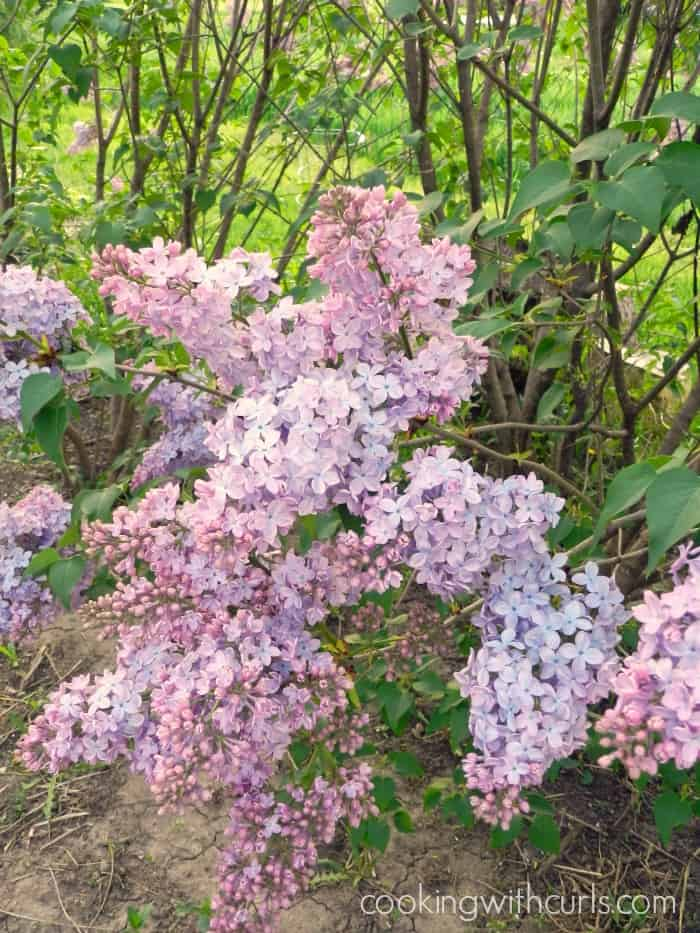 picture of a lilac bush in the backyard