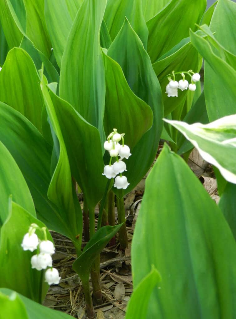 Lily of the Valley 2