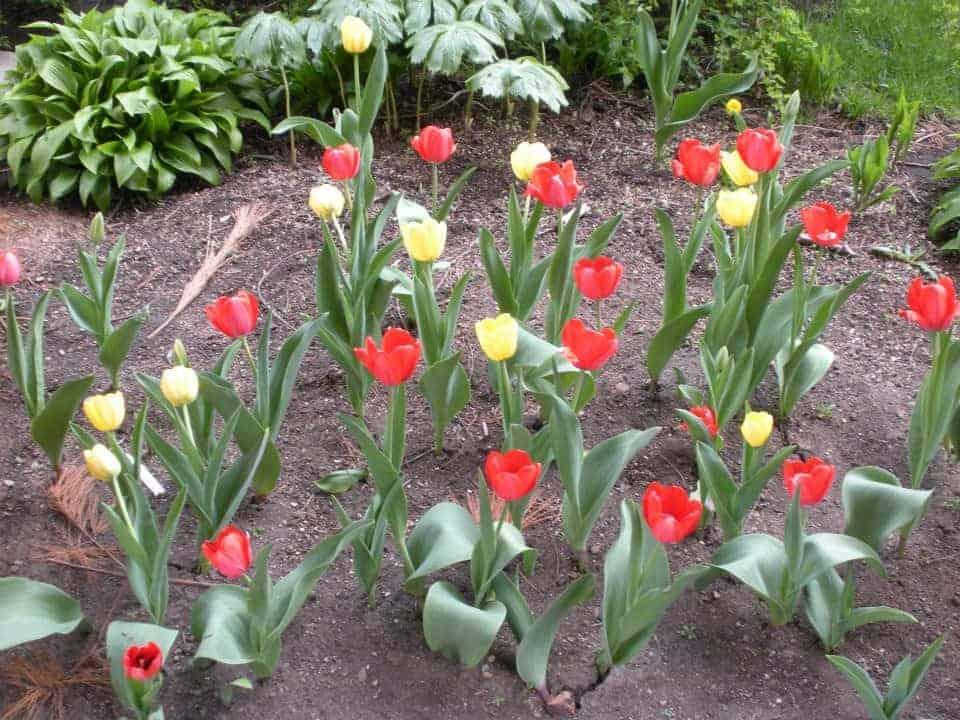 Tulips Brucemore