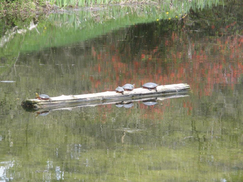 turtles in water